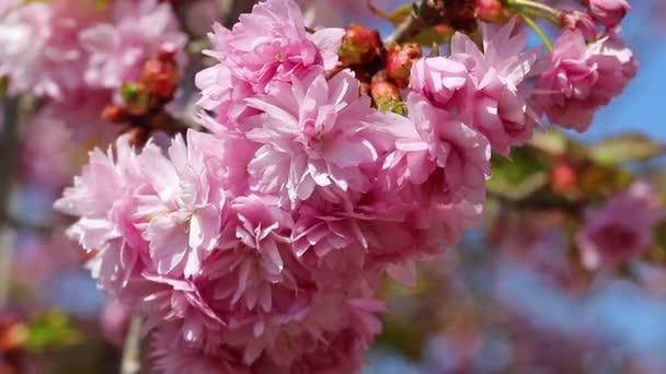 Closeup strom Sakura
