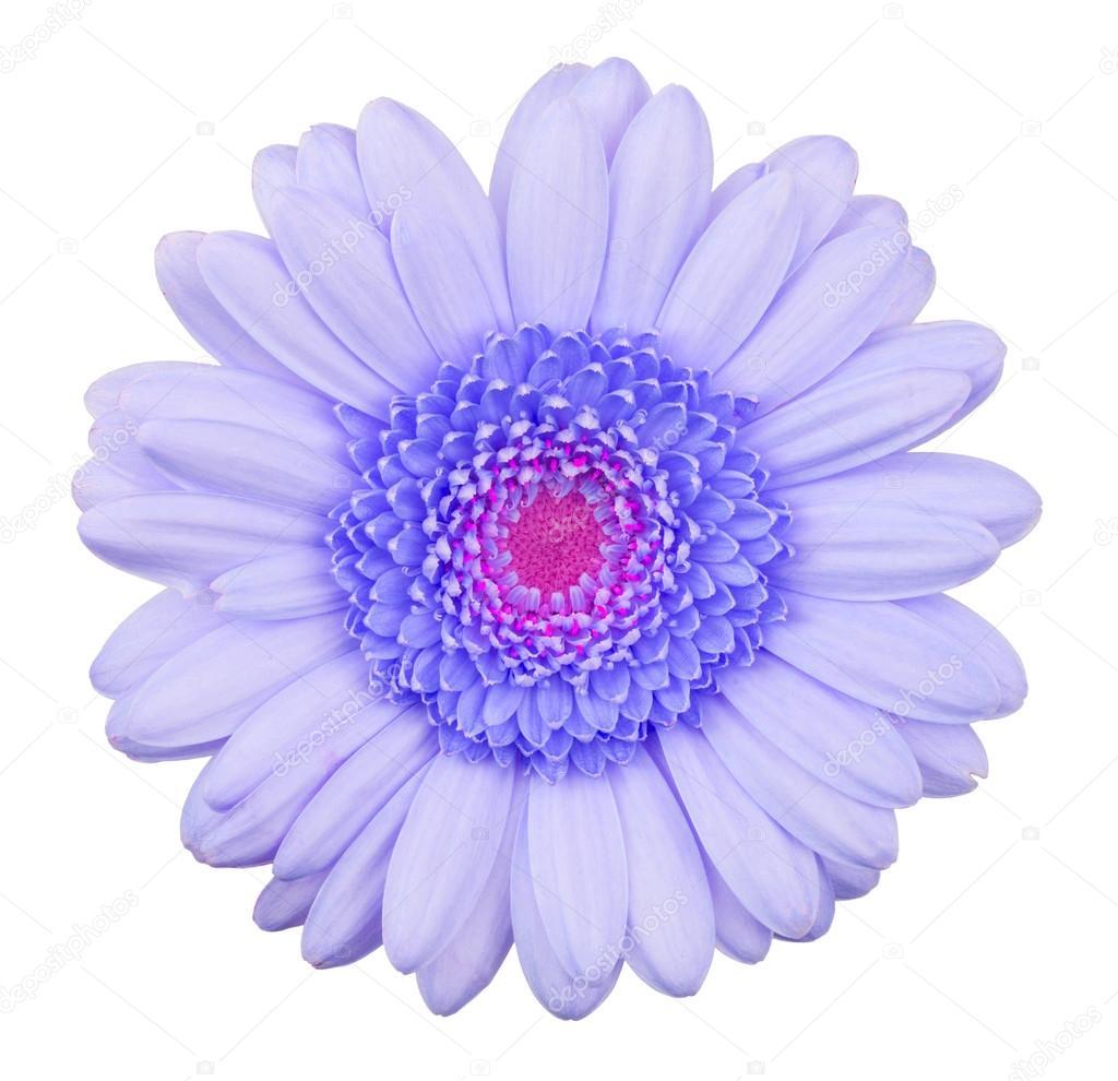 Fleur De Gerbera Bleu Isole Photographie Michaklootwijk C 55595095