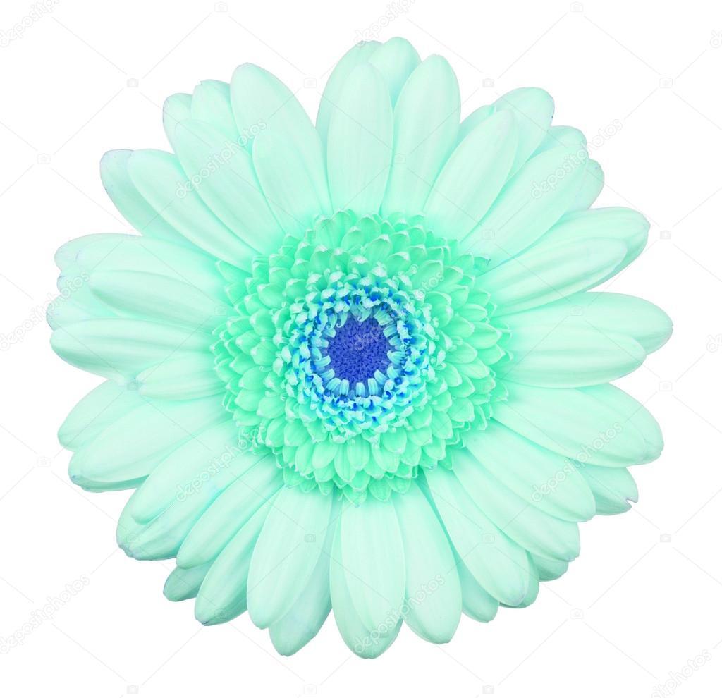 Fleur De Gerbera Bleu Isole Photographie Michaklootwijk C 56790491