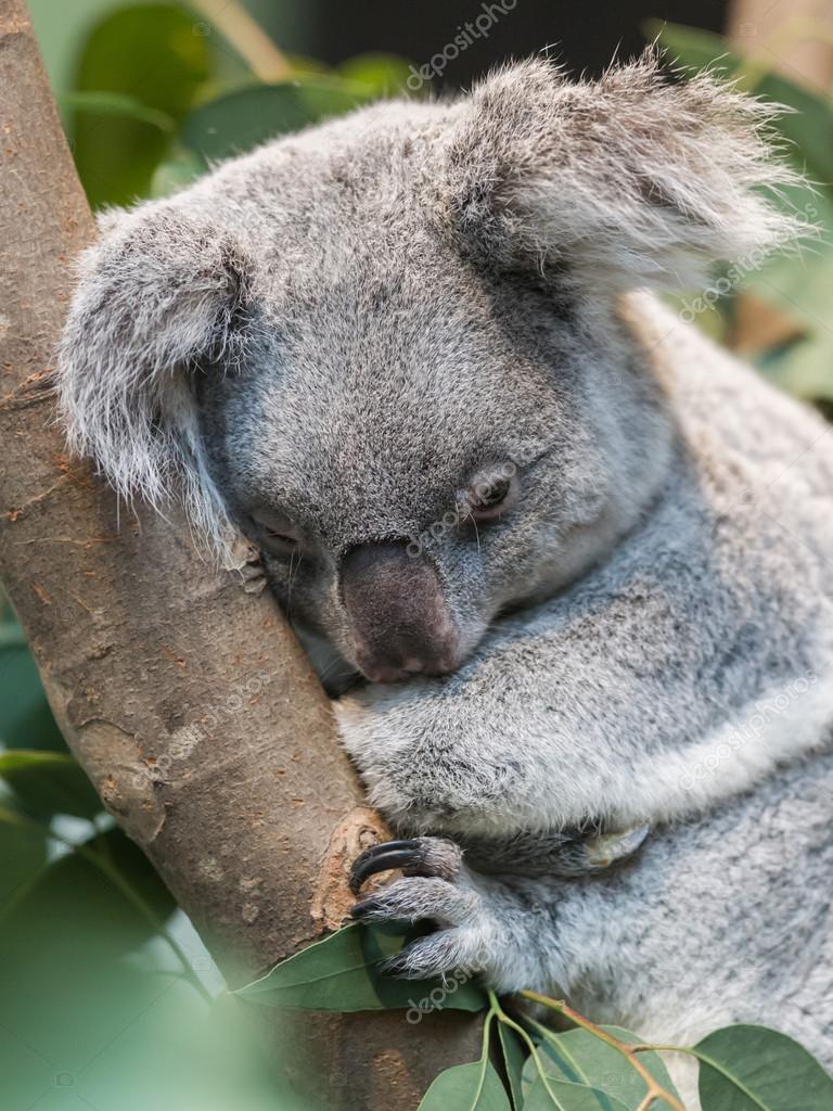 おなかの袋から出てきたよ 赤ちゃんコアラ命名してね サッと見ニュース