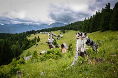 Two border collie dogs in mountain pasture Zajamniki in Slovenia