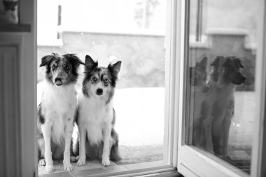 Two border collie dogs sitting