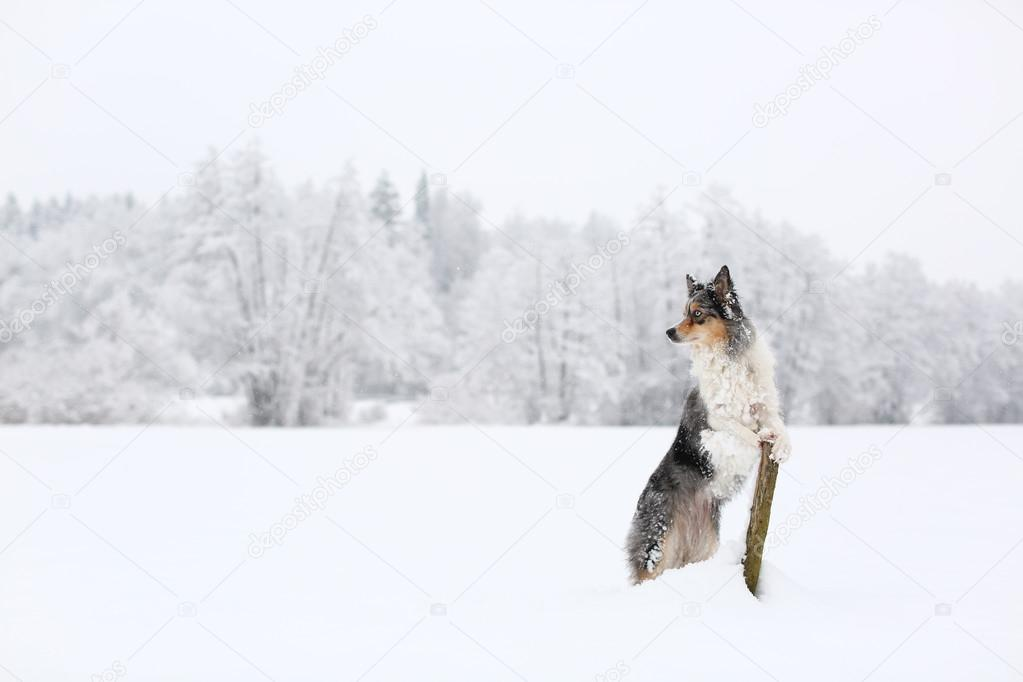 Blue merle border collie dog standing