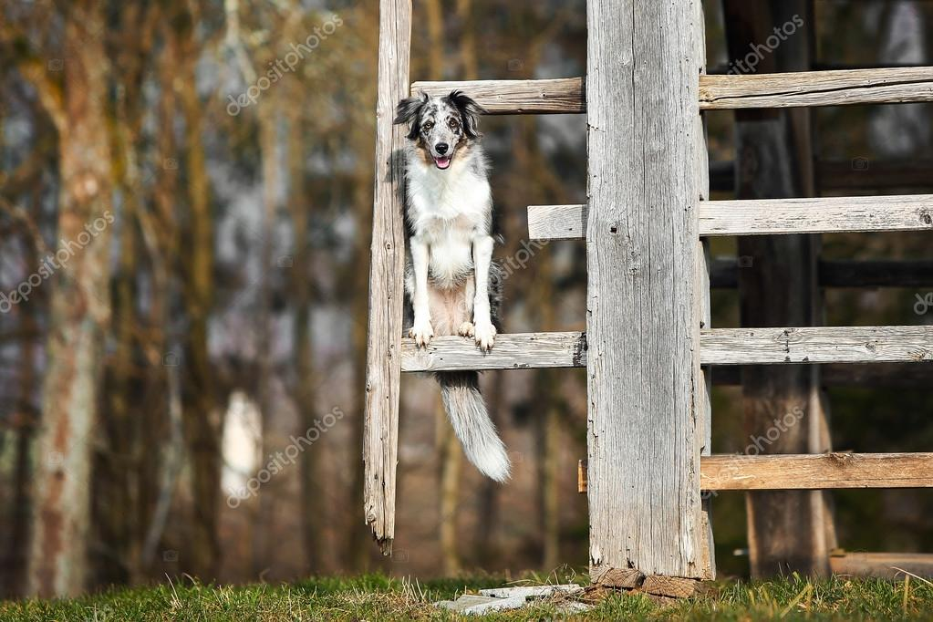 Blue merle border collie dog doing trick