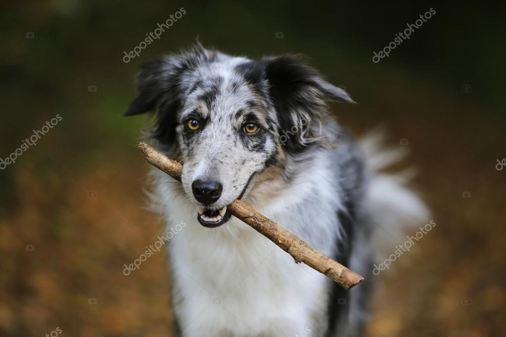 Border collie dog holding a stick