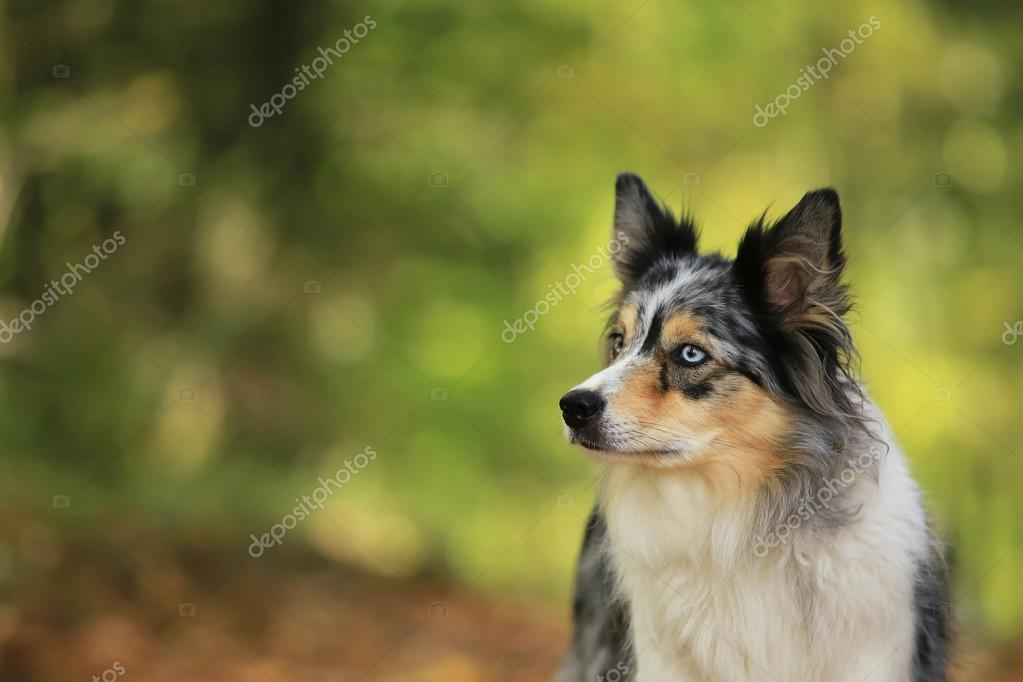 Border collie dog portrait on sunshine background