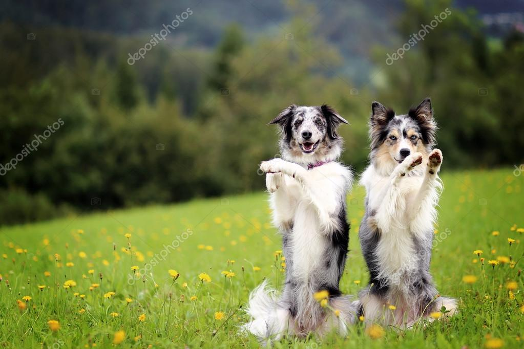 Two border collie dogs doing trick