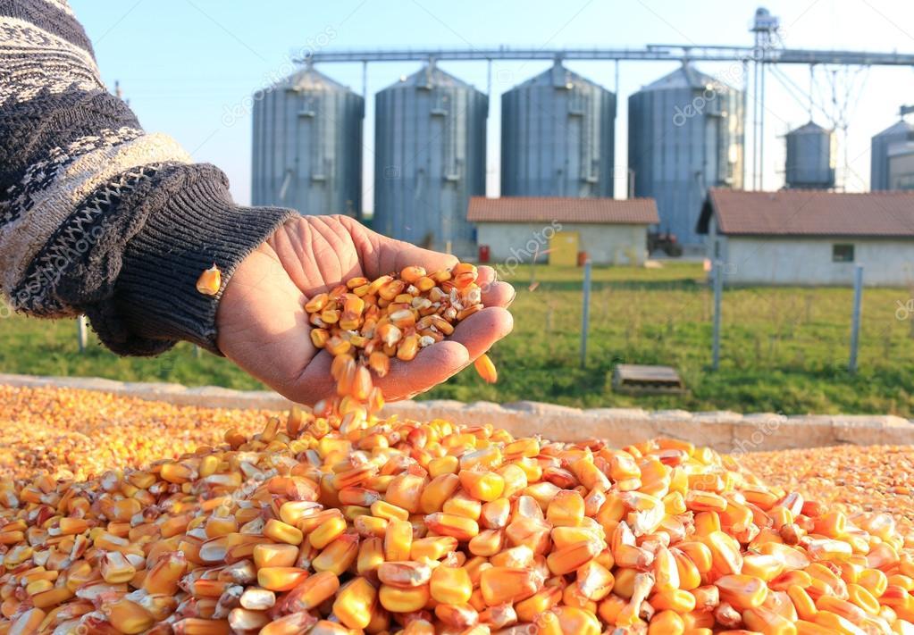 Freshly harvested corn grains