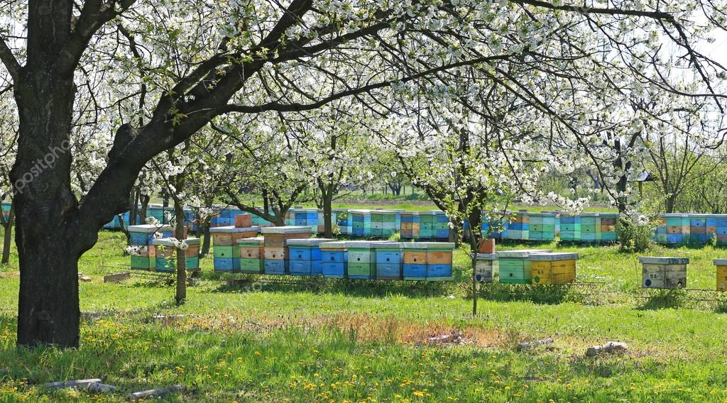 Beehives in the blooming cherry orchard