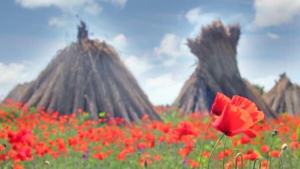 Poppy field and stacked dry reed