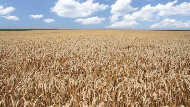 Golden wheat field landscape