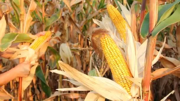 Zemědělec kontrolu kukuřičném