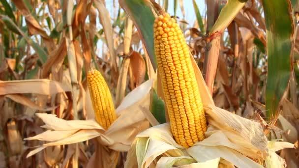 zralá kukuřice na poli