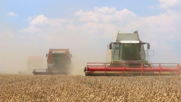 sklizně pšenice