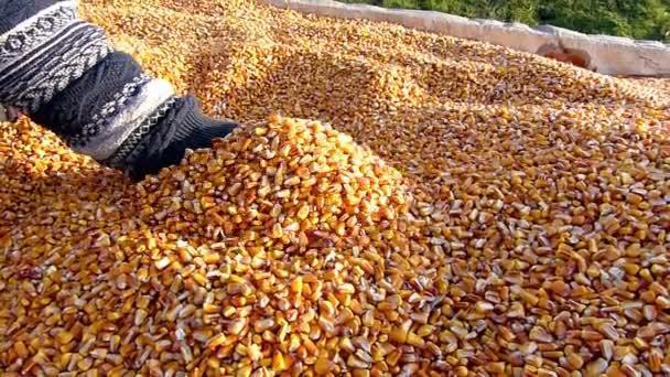 Ruce ukazují čerstvě sklizeného zrna kukuřice