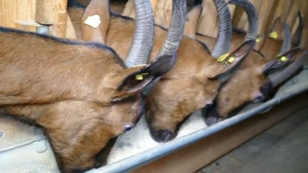 Ziegen auf Bauernhof