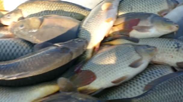 Pesci d 39 acqua dolce da laghetto dei pesci video stock for Pesci laghetto vendita