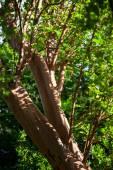 Fotografie Fragvent of a cork tree