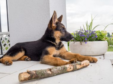 Watchful German shepherd puppy