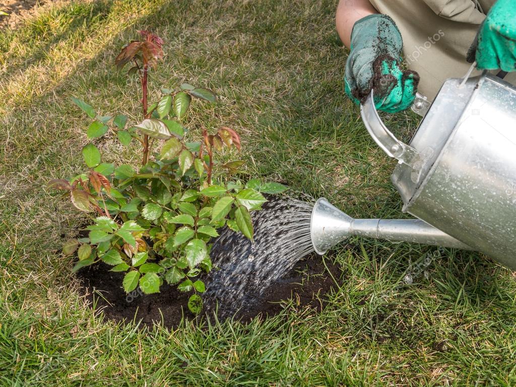 Planten In Tuin : Tuin rose planten u2014 stockfoto © pryzmat #95506700