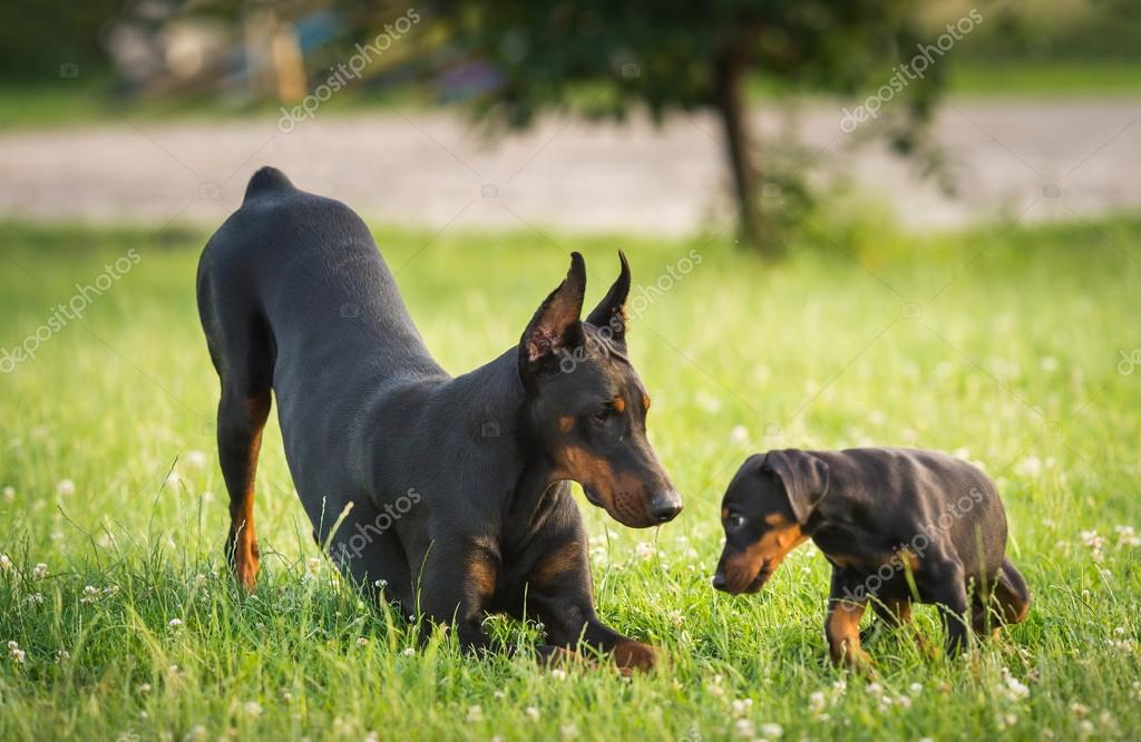 Two black dobermans on the grass