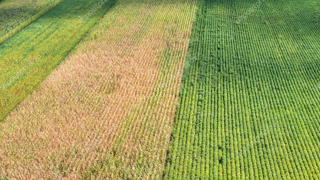 soybeans and field corn