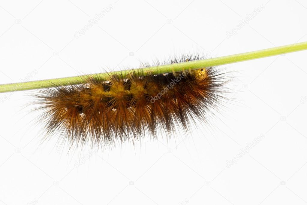 Wooly orange-brown caterpillar on stem