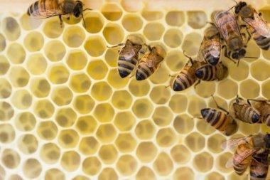 Italian honeybees constucting new honeycomb