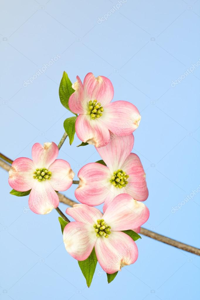 Pink And Cream Dogwood Flower Against Blue Stock Photo