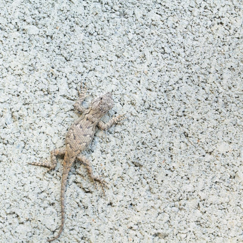 Close up of Eastern Fence Lizard in NC