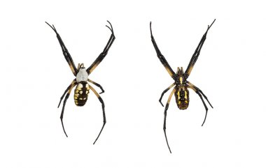 Female orb spider top and bottom on white