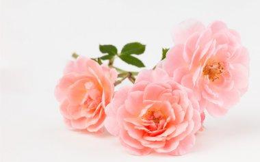 Peach pink garden rose cluster