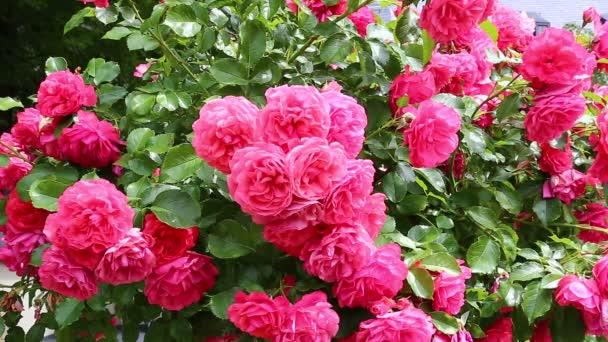 Blüten schöner rosa Rosen im Garten