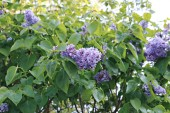 Rozkvetlé fialové lila v městském parku
