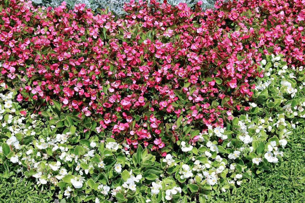 Pink And White Flowers Tuberous Begonias On The Flowerbed Stock