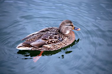 Duck swims on the waves