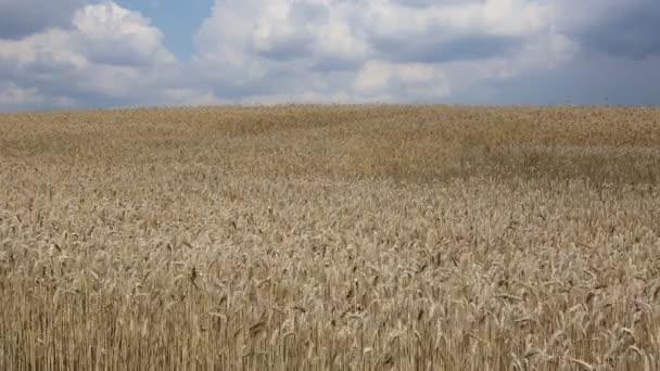 Video pšeničné pole vlnící se ve větru