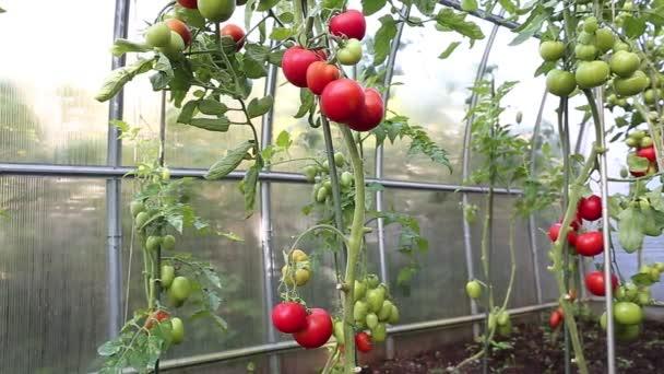 Video zrání zelená a červená rajčata