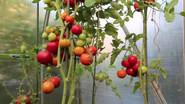 Video zrání zelená a červená rajčata ve skleníku
