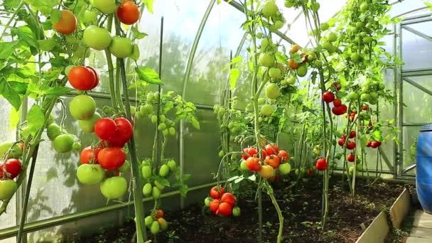 Video zrání zelená rajčata ve skleníku