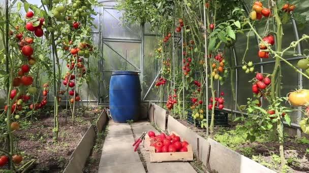Video Ernte reifer roter Tomaten im Gewächshaus