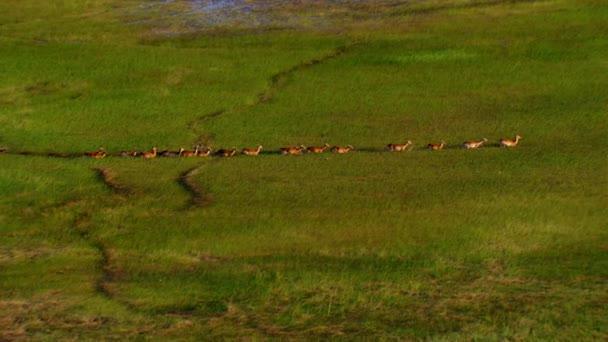 Letecký pohled na stádo jelenů a jelenů na zatopených pastvinách. Let vrtulníkem nad divokými zvířaty. Divoká zvěř shora.