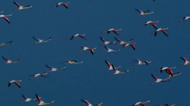 Divocí plameňáci plují vzduchem nad mořem. Úžasní velcí růžoví ptáci za letu. Zpomalit, sledovat pohled na přírodu v akci. Letecký pohled moře pozadí.