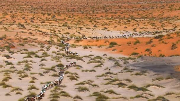 Aerial view of Camel caravans carrying salt through the desert in danakil, Ethiopia, Africa
