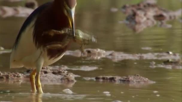 Krmení chování čínského rybníka volavka v rýžovém poli, jíst žábu v rýžovém poli.
