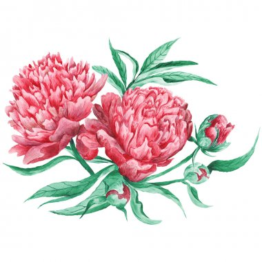 Peony Watercolor Botanical Illustration