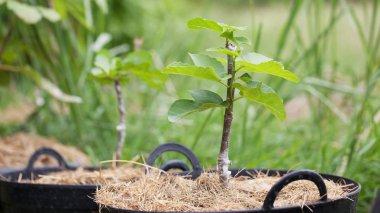 figs tree grafting