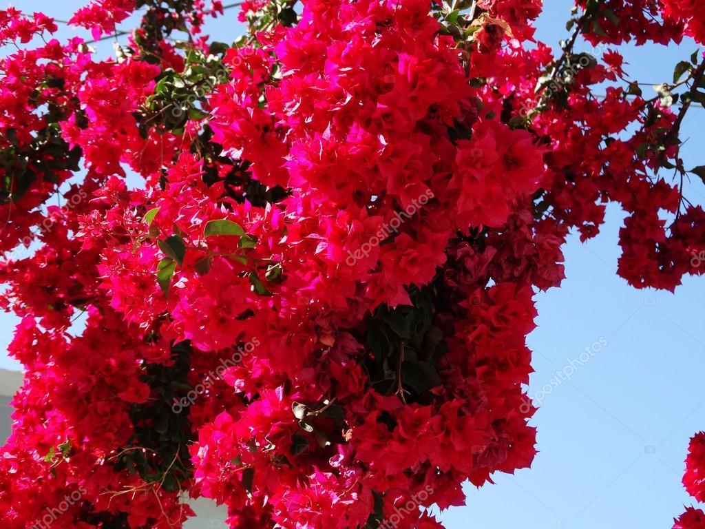 trauerweiden rote mediterrane rote blumen busch. Black Bedroom Furniture Sets. Home Design Ideas