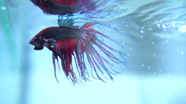 Colorful Betta Fish in Aquarium.