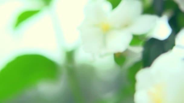 Closeup jasmínových květů